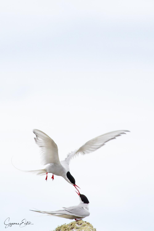 tern courtship.jpg