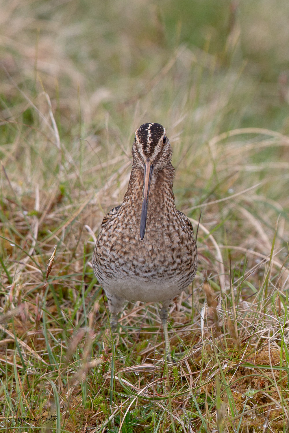 Angry looking snipe on Shetland