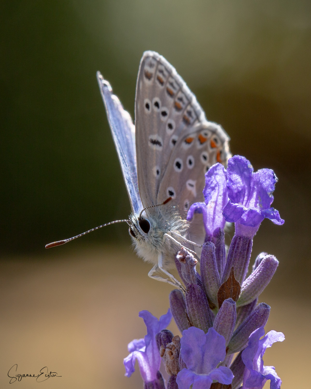 Common blue butterfly feeding on lavender in Somerset, England