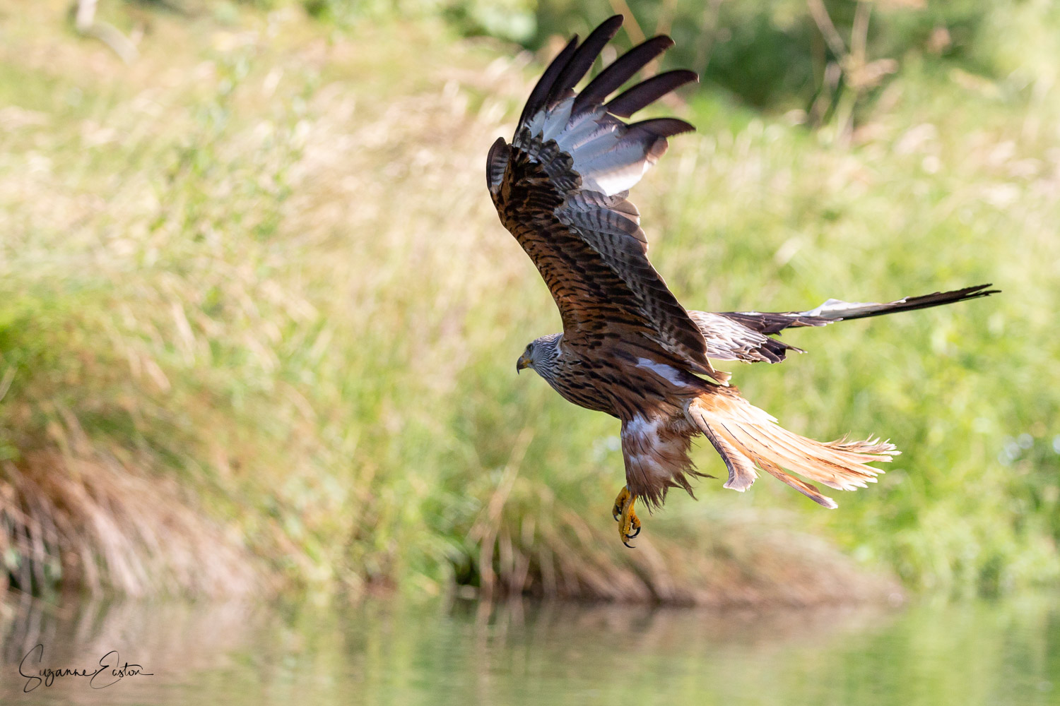 red kite trout-2.jpg