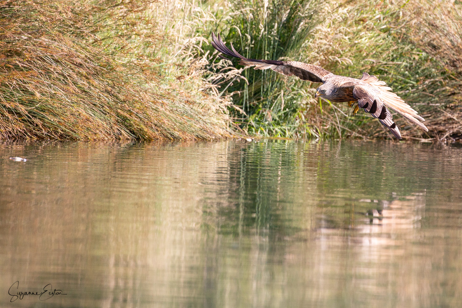 red kite trout-3.jpg