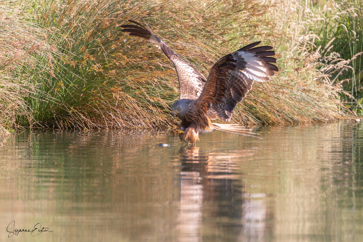 red kite trout-5.jpg