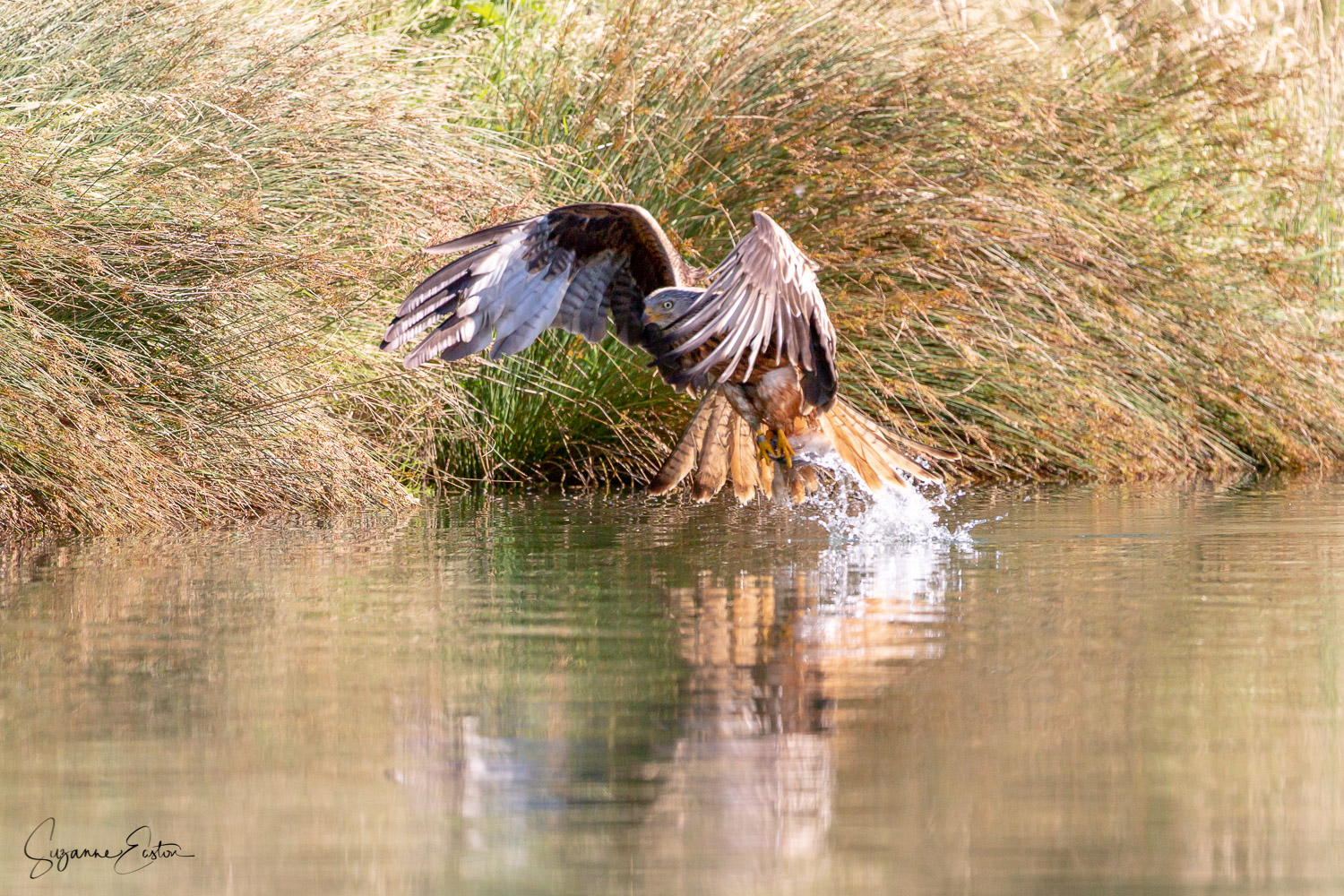 red kite trout-6.jpg