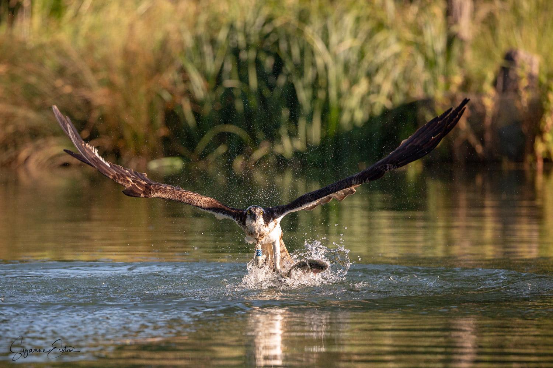 osprey dive-4.jpg