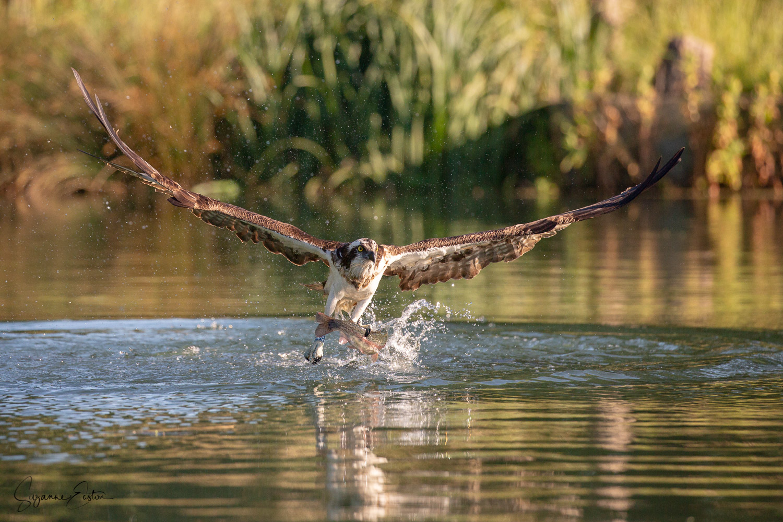 osprey dive-6.jpg