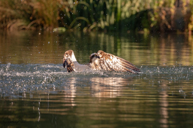 osprey dive.jpg