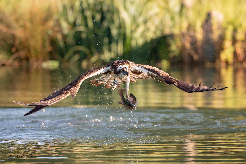 osprey dive-8.jpg