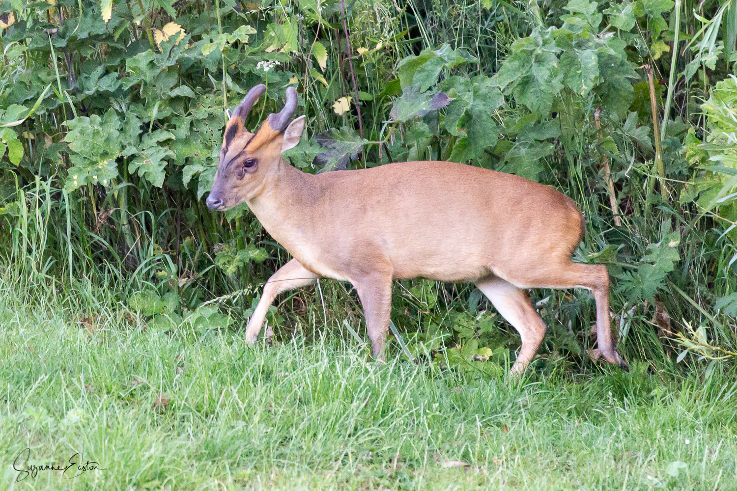 Male muntjac deer