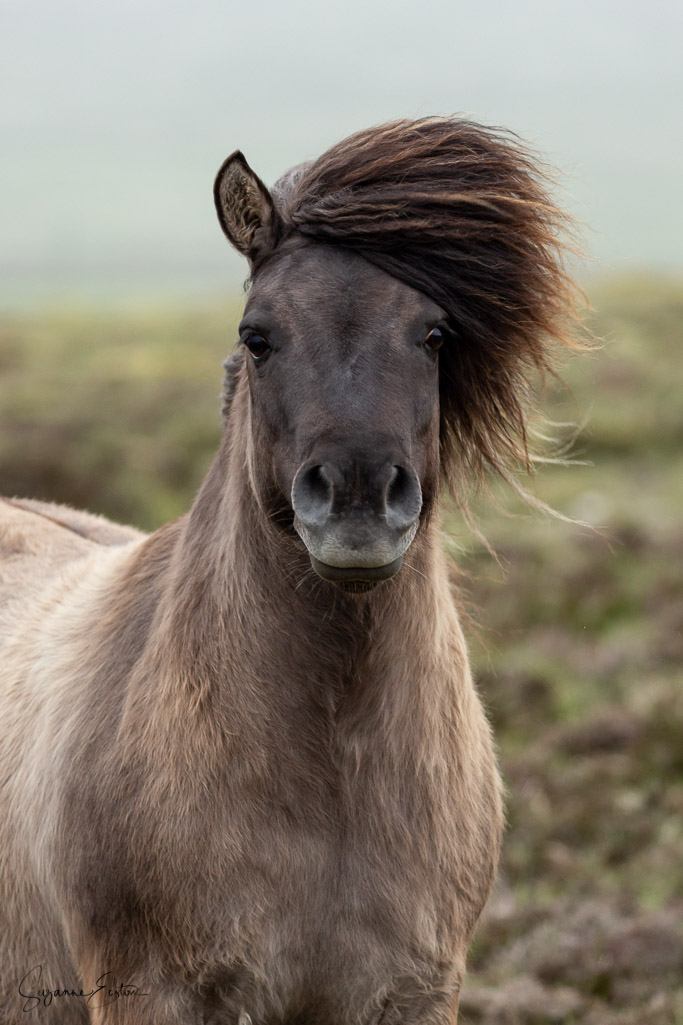 Shetland pony trying to look dignified in the wind