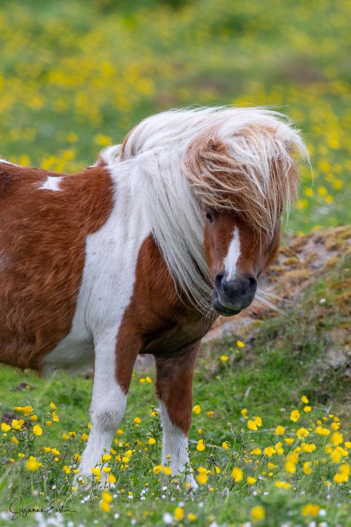 Shetland pony in a field of buttercups
