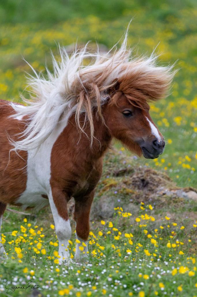 a windswept Shetland pony
