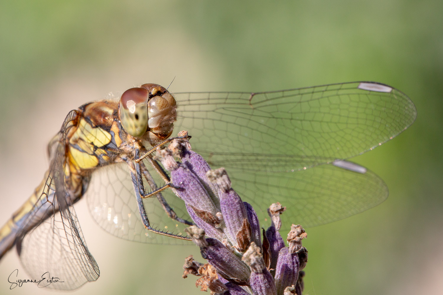 Common darter dragonfly perched