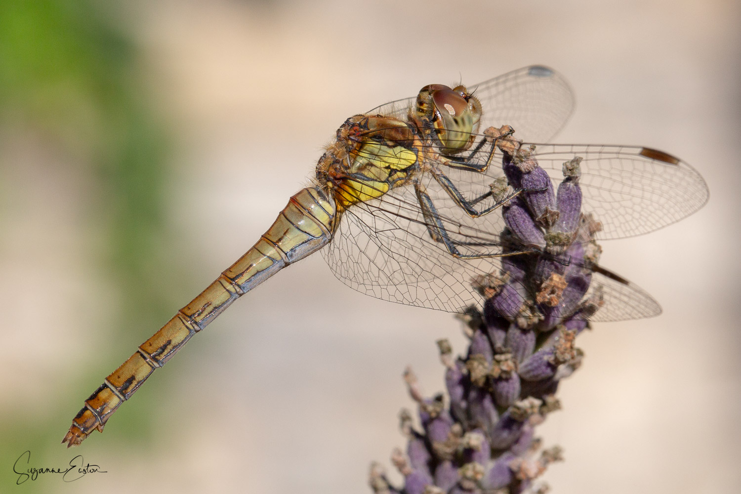 Body of the common darter dragonfly