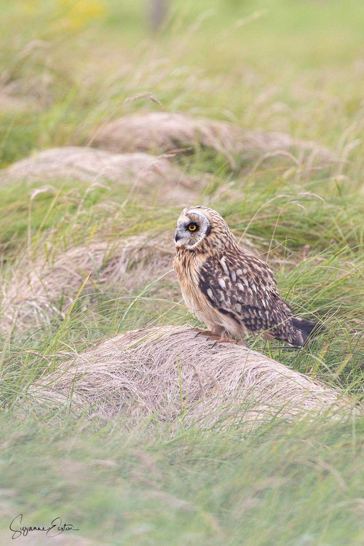 mobbed owl-2.jpg