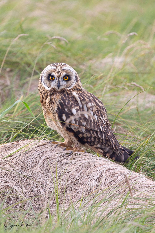 mobbed owl-3.jpg