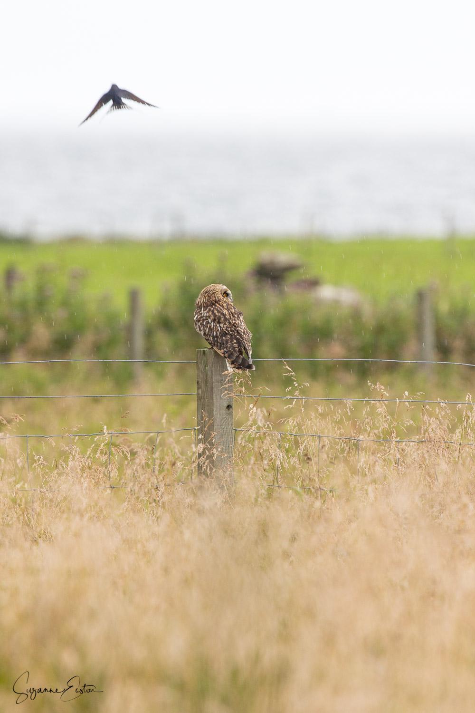 mobbed owl-4.jpg