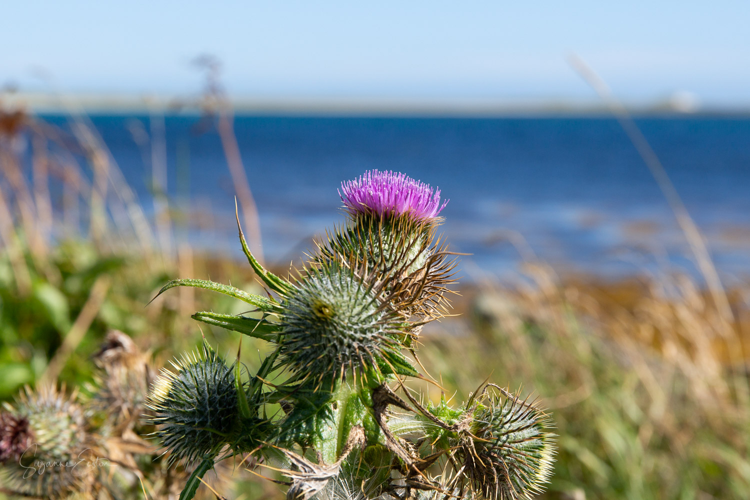 Scottish Thistle at Sty Wick