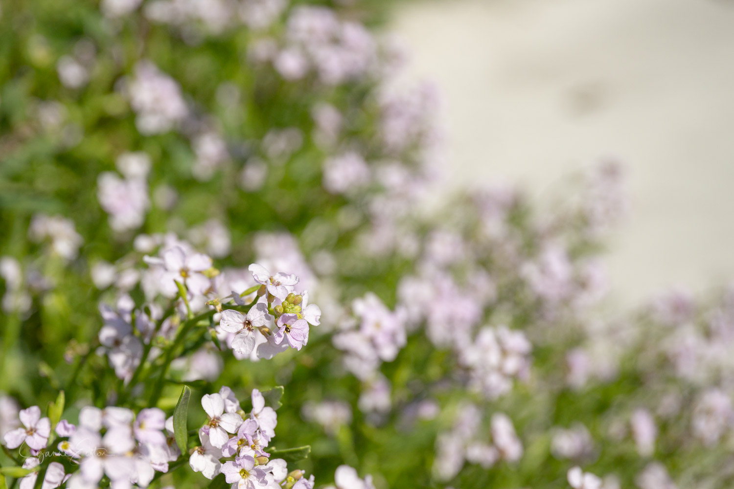 Sea rocket in the sand