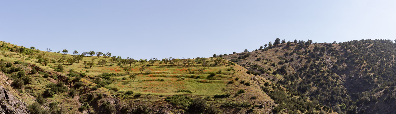 Poppies on a hillside outside of Marrakech in Morocco