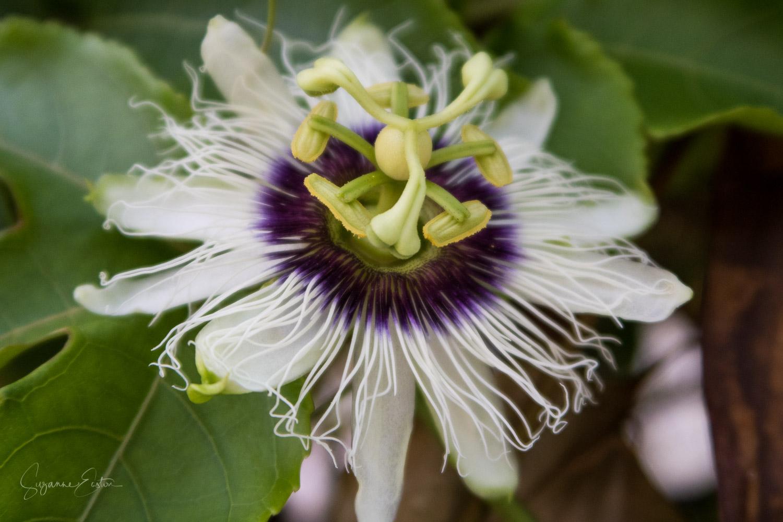 A wild flower in the Maldives