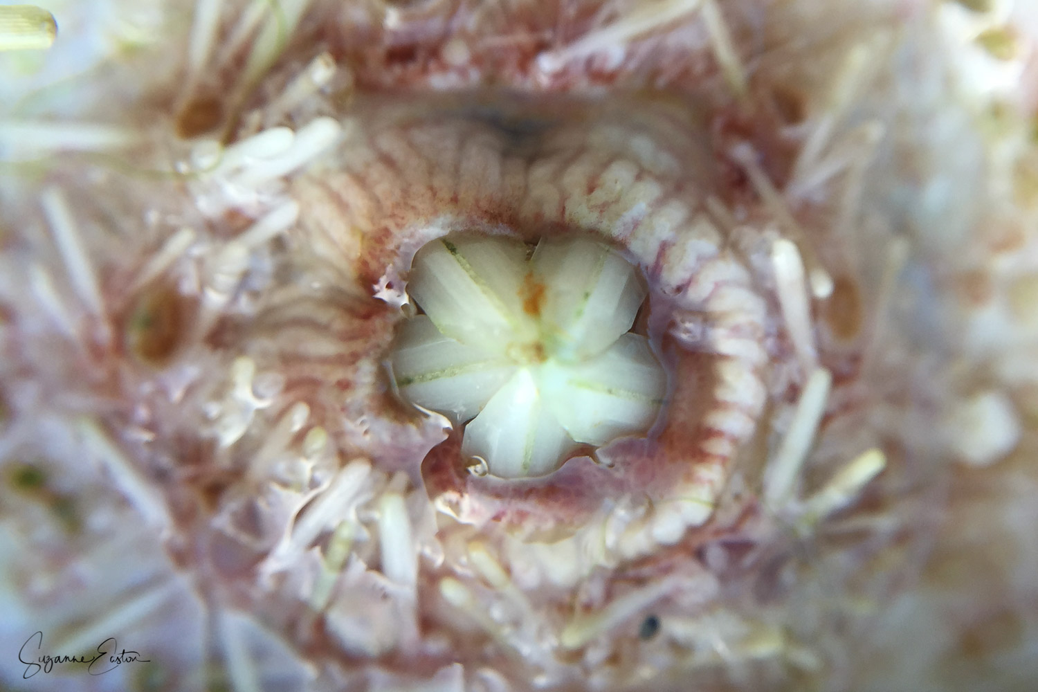 The mouth of a sea urchin and broken spines.  This sea urchin was washed up on the beach in a winter storm.  It was badly damaged and despite being returned to a rock pool it probably didn't survive.