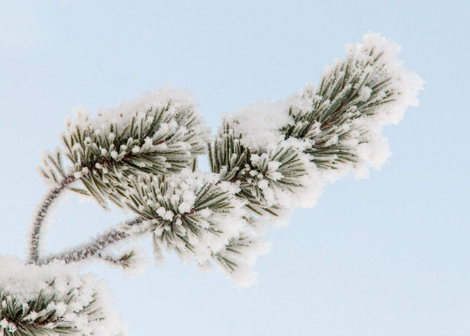 Hoar frost on a pine tree in Sweden