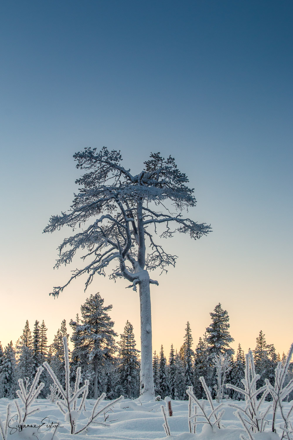 Tall tree with yellow sky