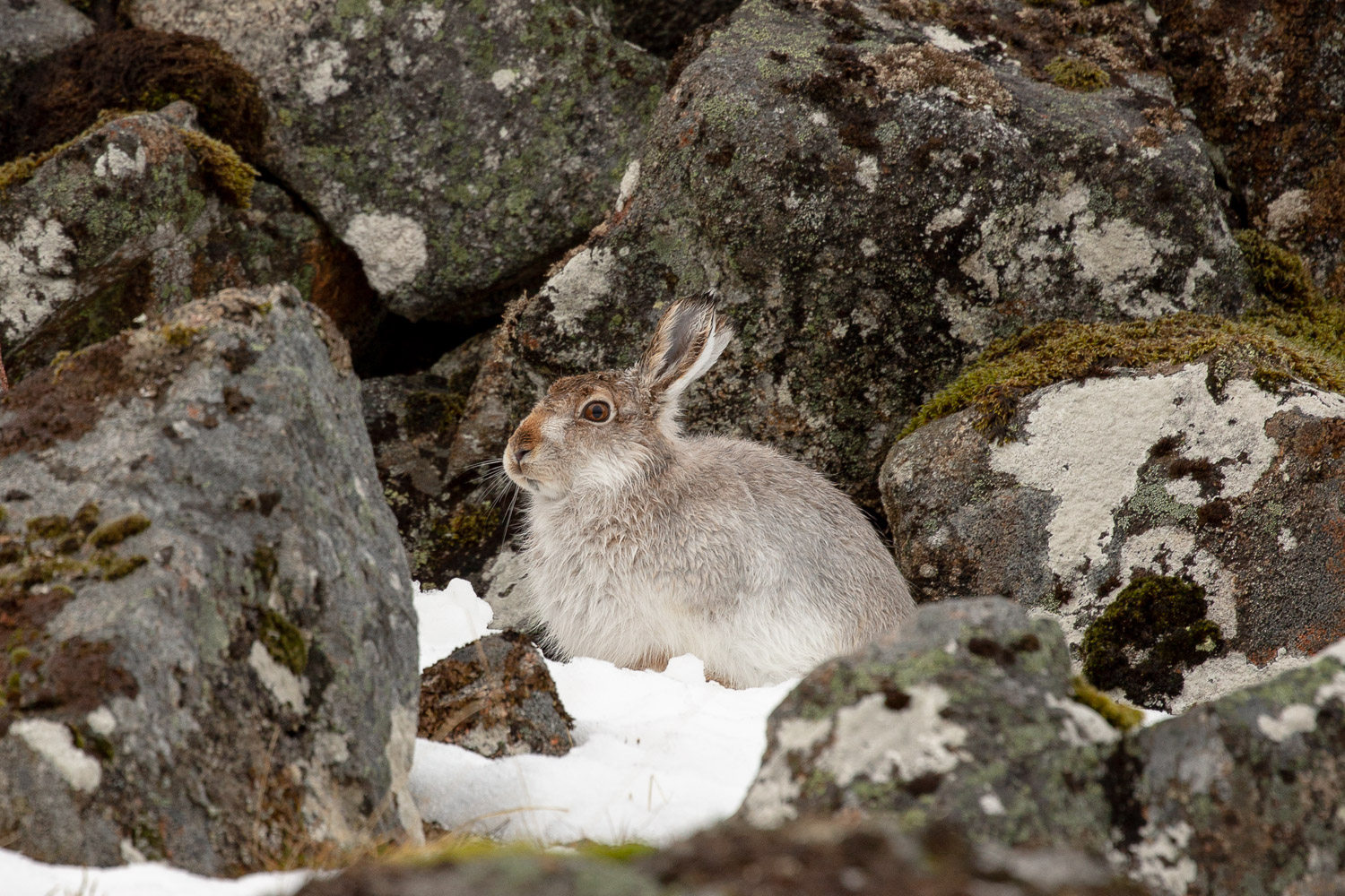 Mountain hare in the Scottish Cairngorm mountains