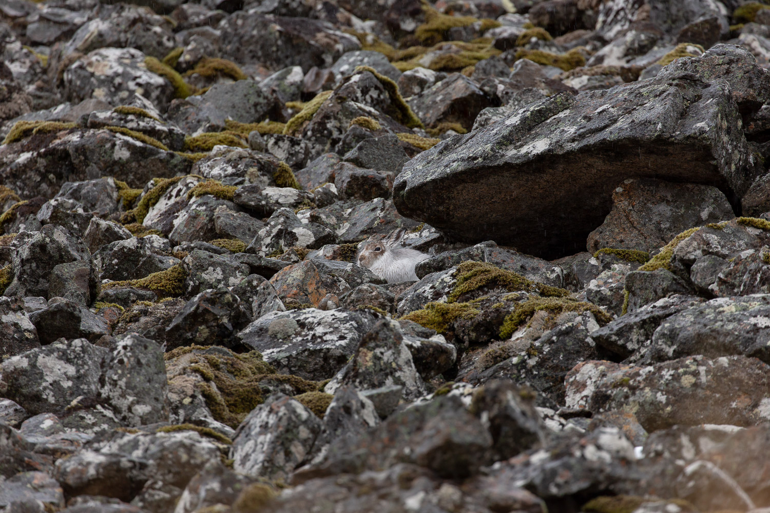 Mountain hare sitting under a rock in the Scottish Cairngorm mountains