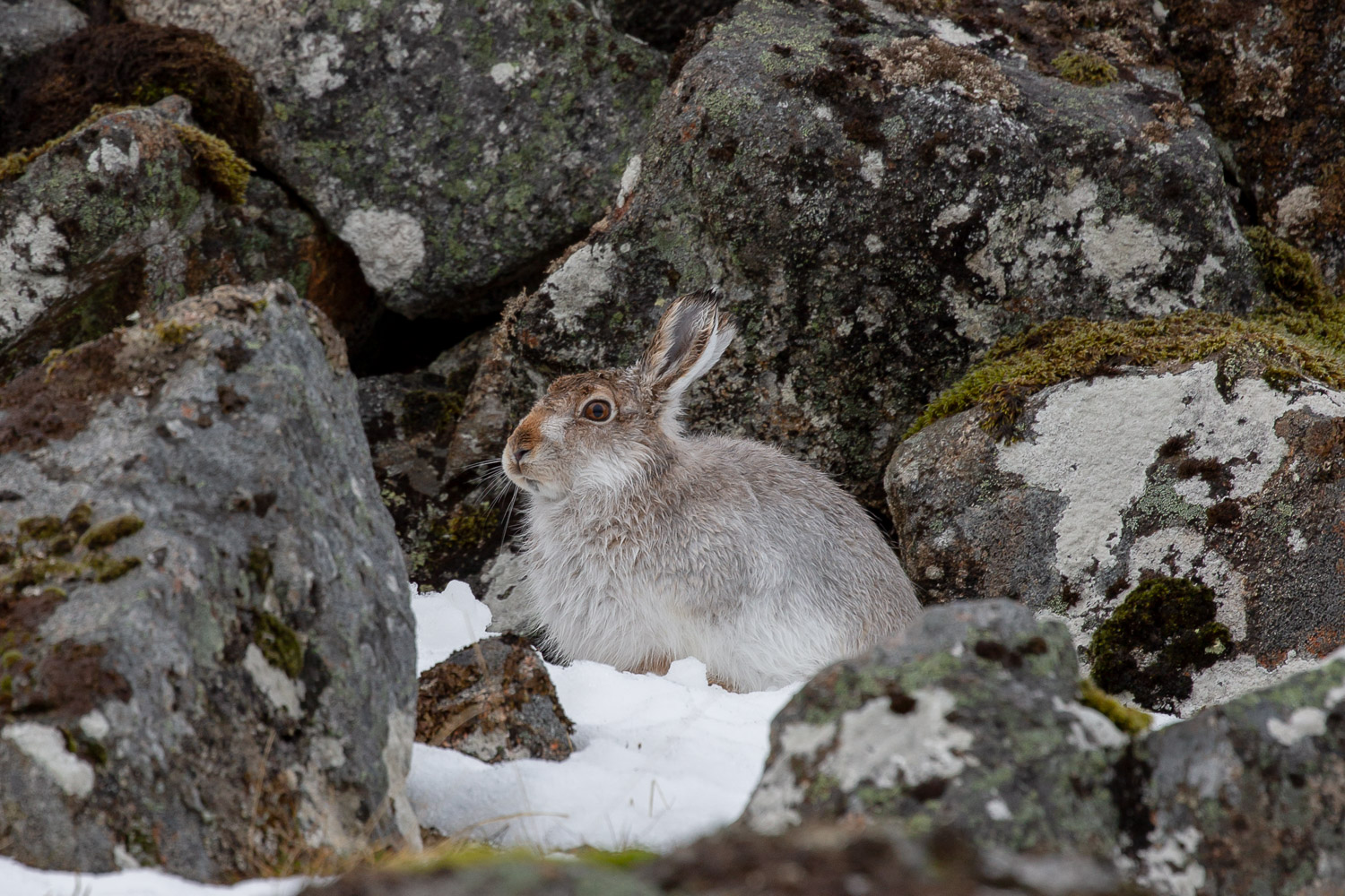 A mountain hare amongst rocks in the snow