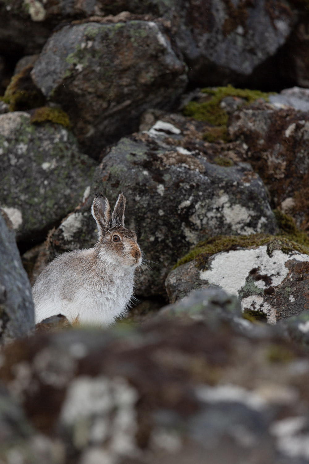 Mountain hare behind rocks