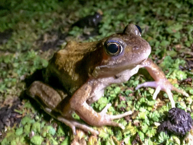 Frog on Skomer island