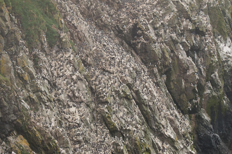 Razorbill colony on Bull Hole on Skomer Island
