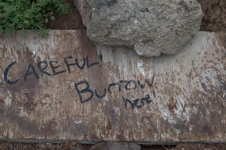 Puffin burrow on skomer Island