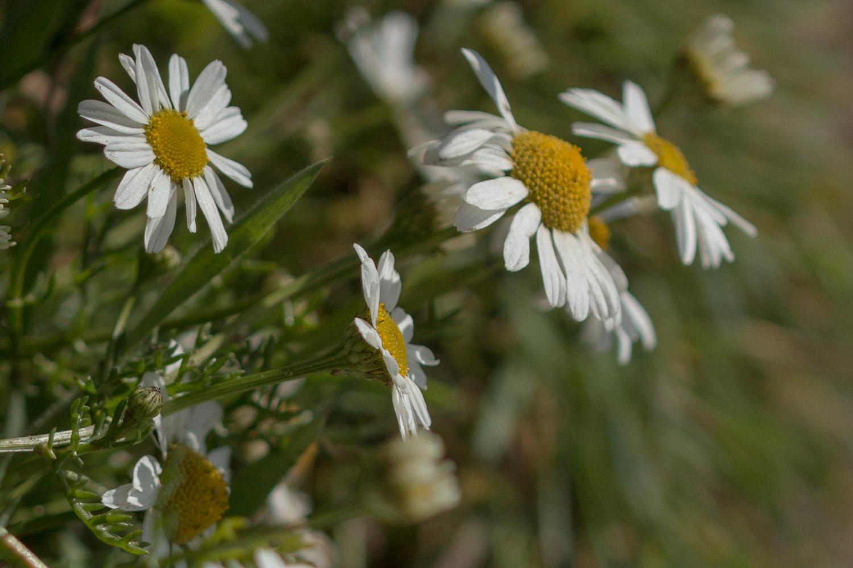 Wild daisy on Skomer Island