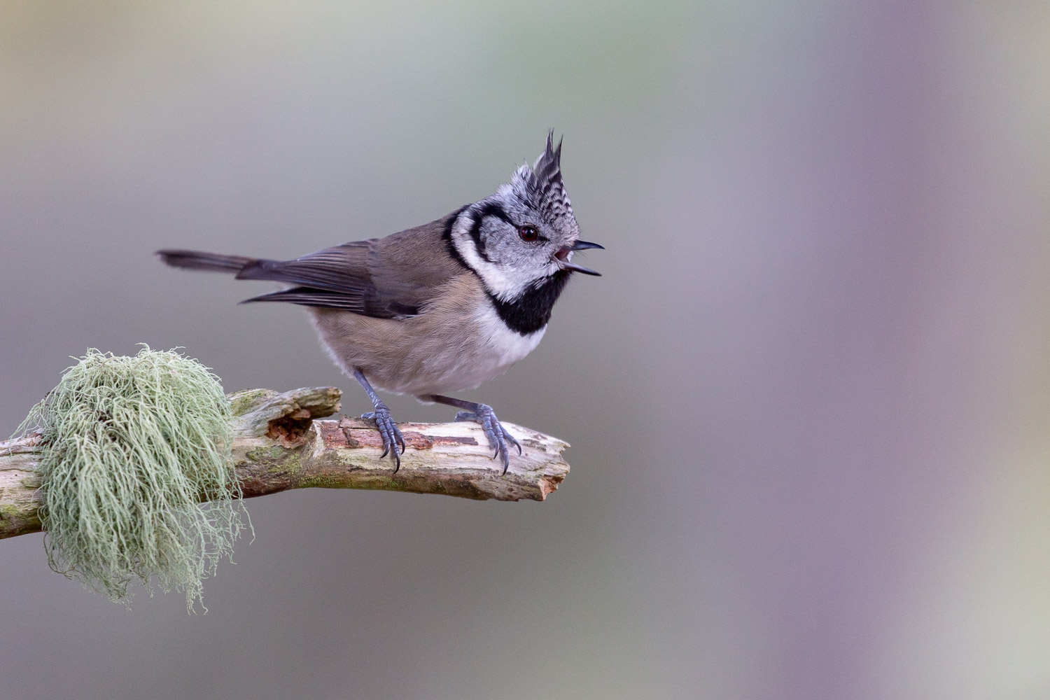 Singing crested tit