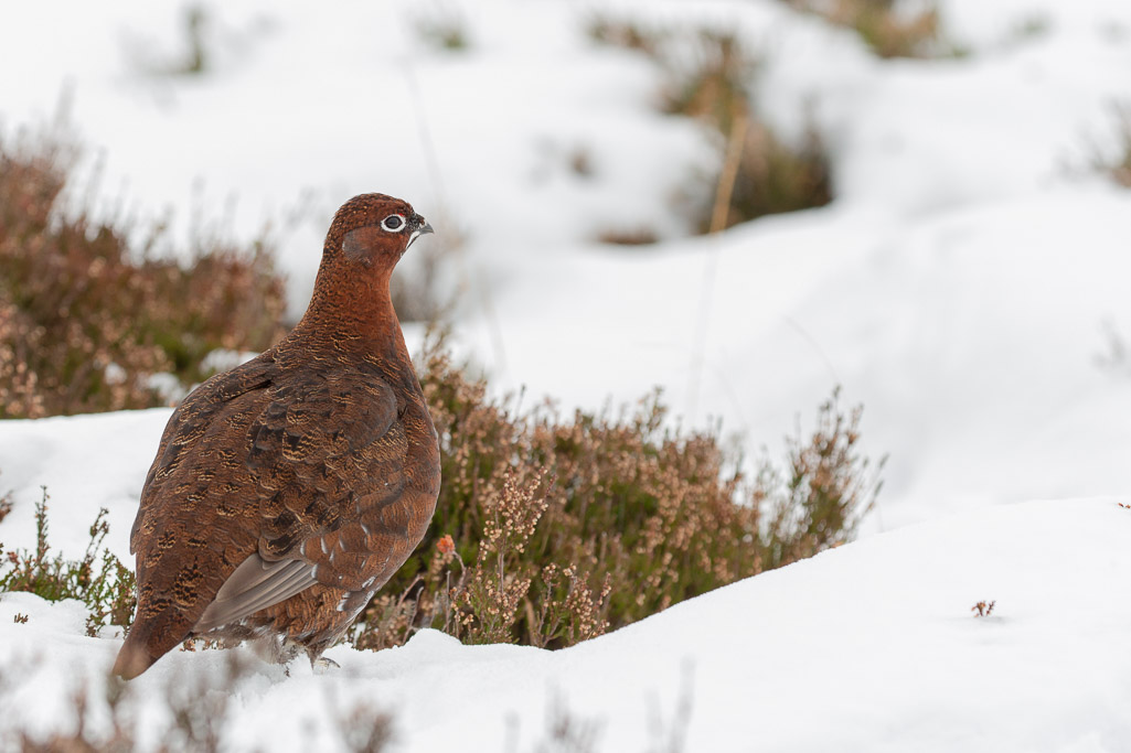 Grouse in snow