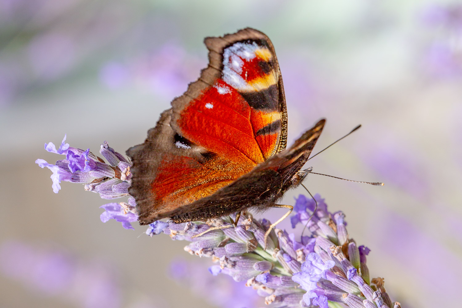 Peacock butterfly with a blurred purple background