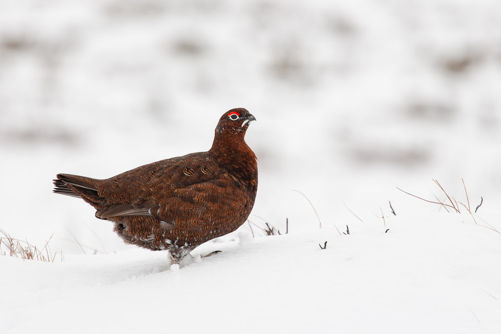 red grouse in the Cairngorm mountains