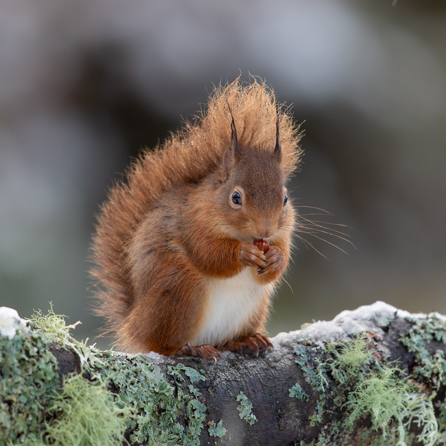 Red squirrel eating