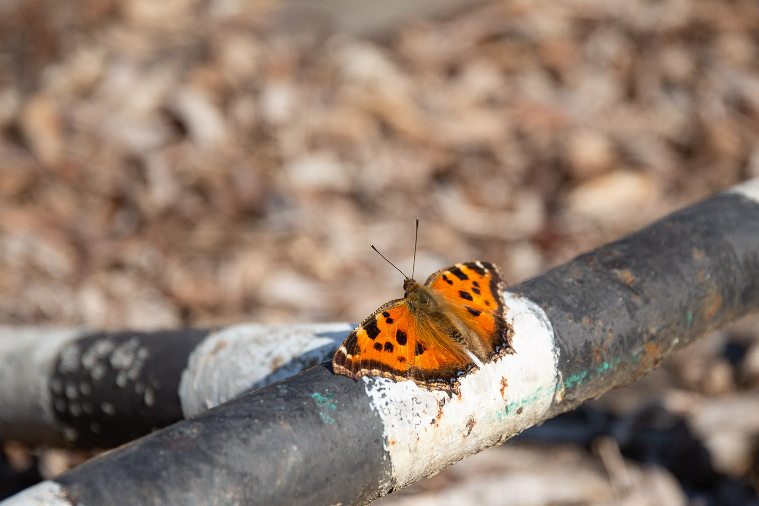 Tortoiseshell Butterfly near the Pripyat River
