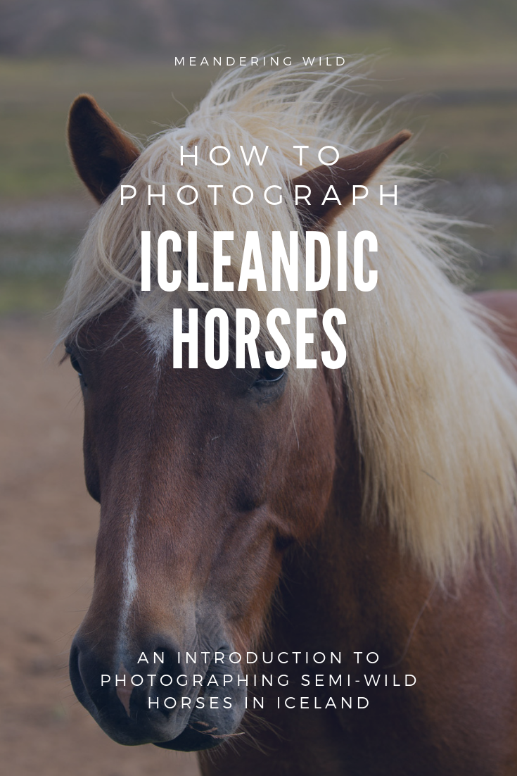 Icelandic horses are found all over Iceland. They are fantastic subjects for photographs and their personalities shine through in pictures. This is a complete guide to help you photograph the horses safely.