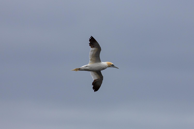 gannets-2.jpg