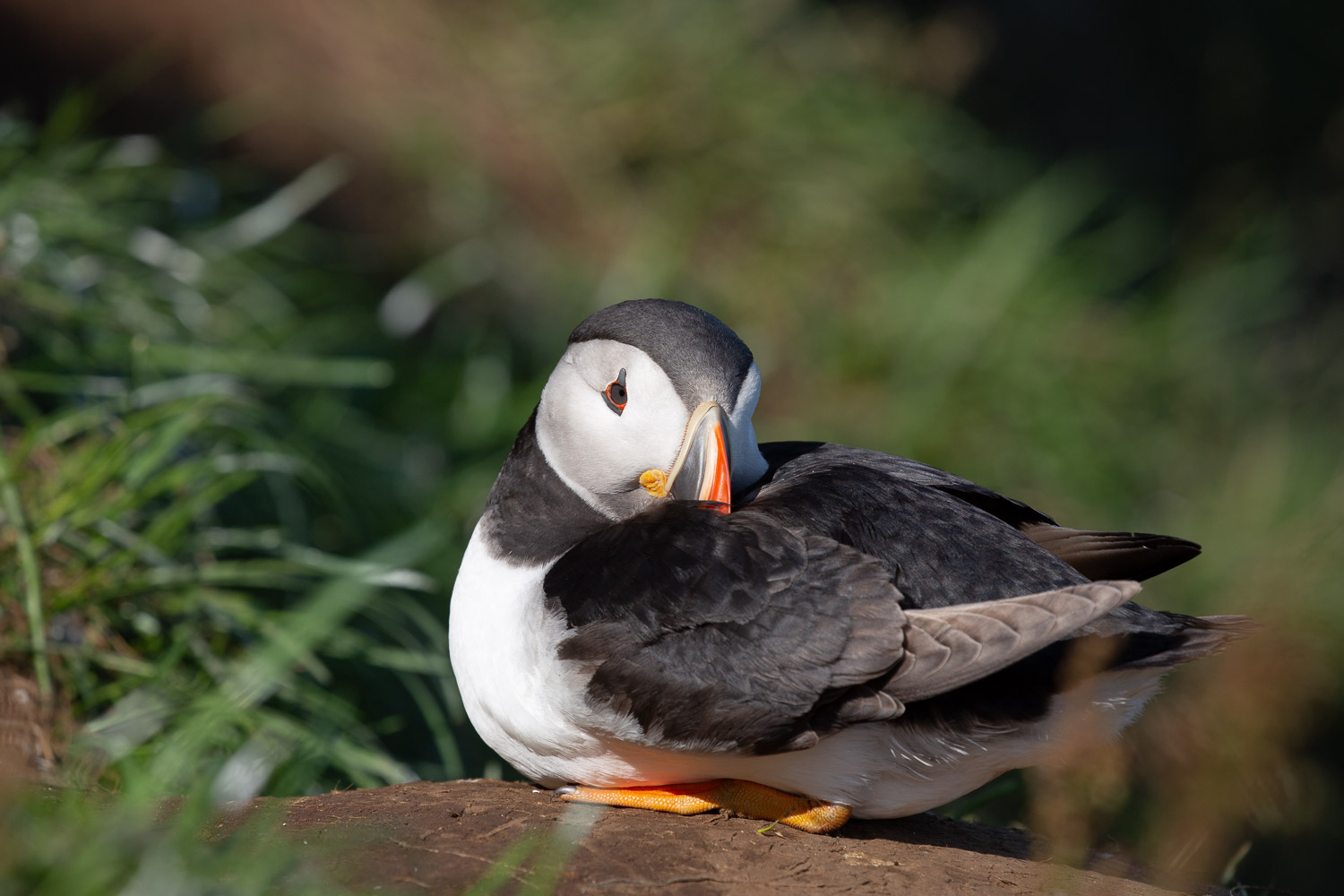 Snoozing puffin