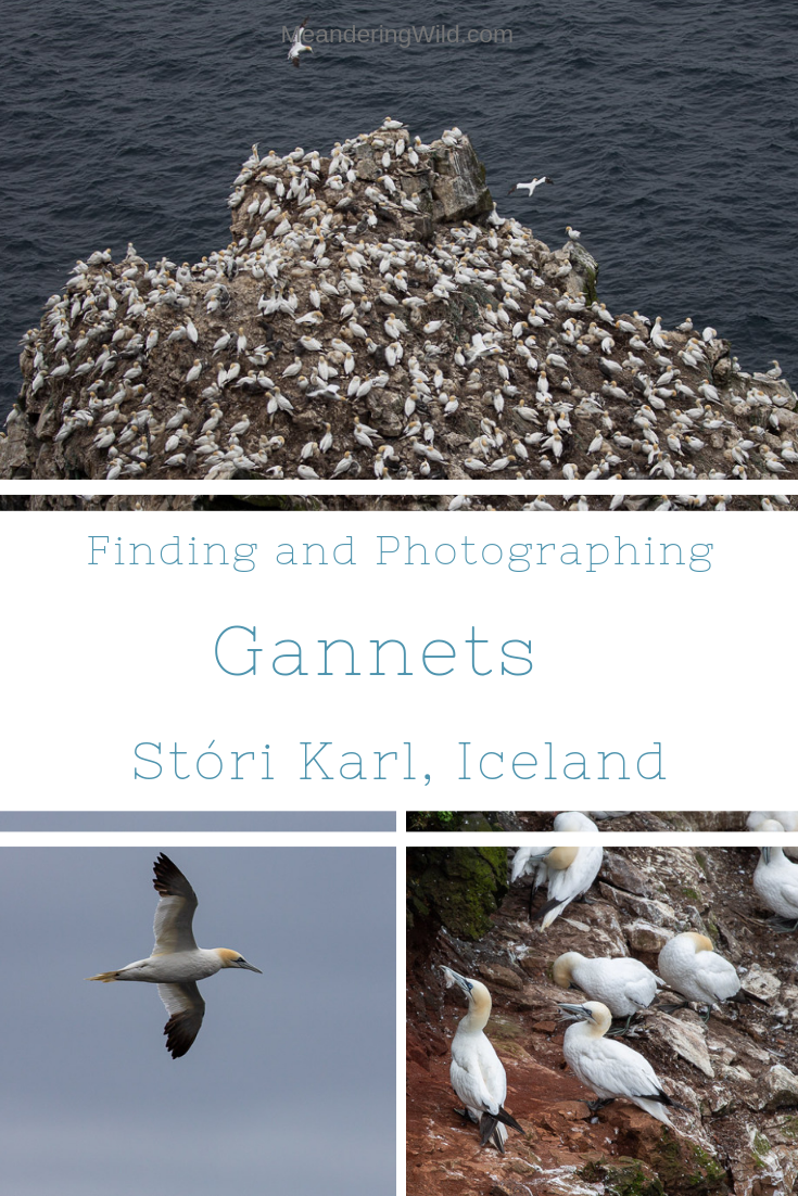 Stóri Karl in the far north east of Iceland is home to a thriving gannet colony. It is a hard journey to reach the cliffs but in the summer months the gannets make it a worthwhile adventure.