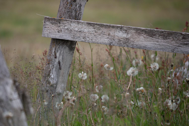 Dandelion frames