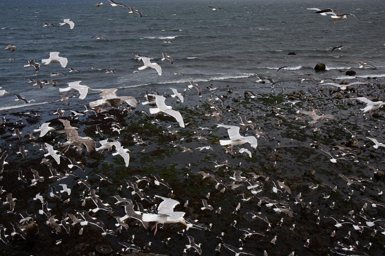 Olafsvik gulls-2.jpg