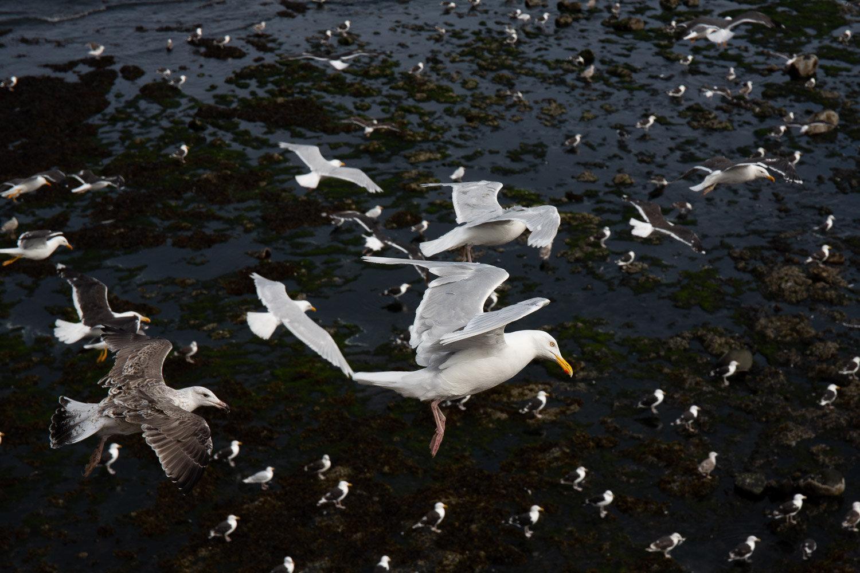 Olafsvik gulls-4.jpg