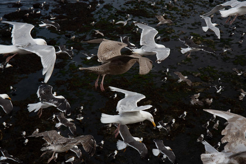 Olafsvik gulls.jpg