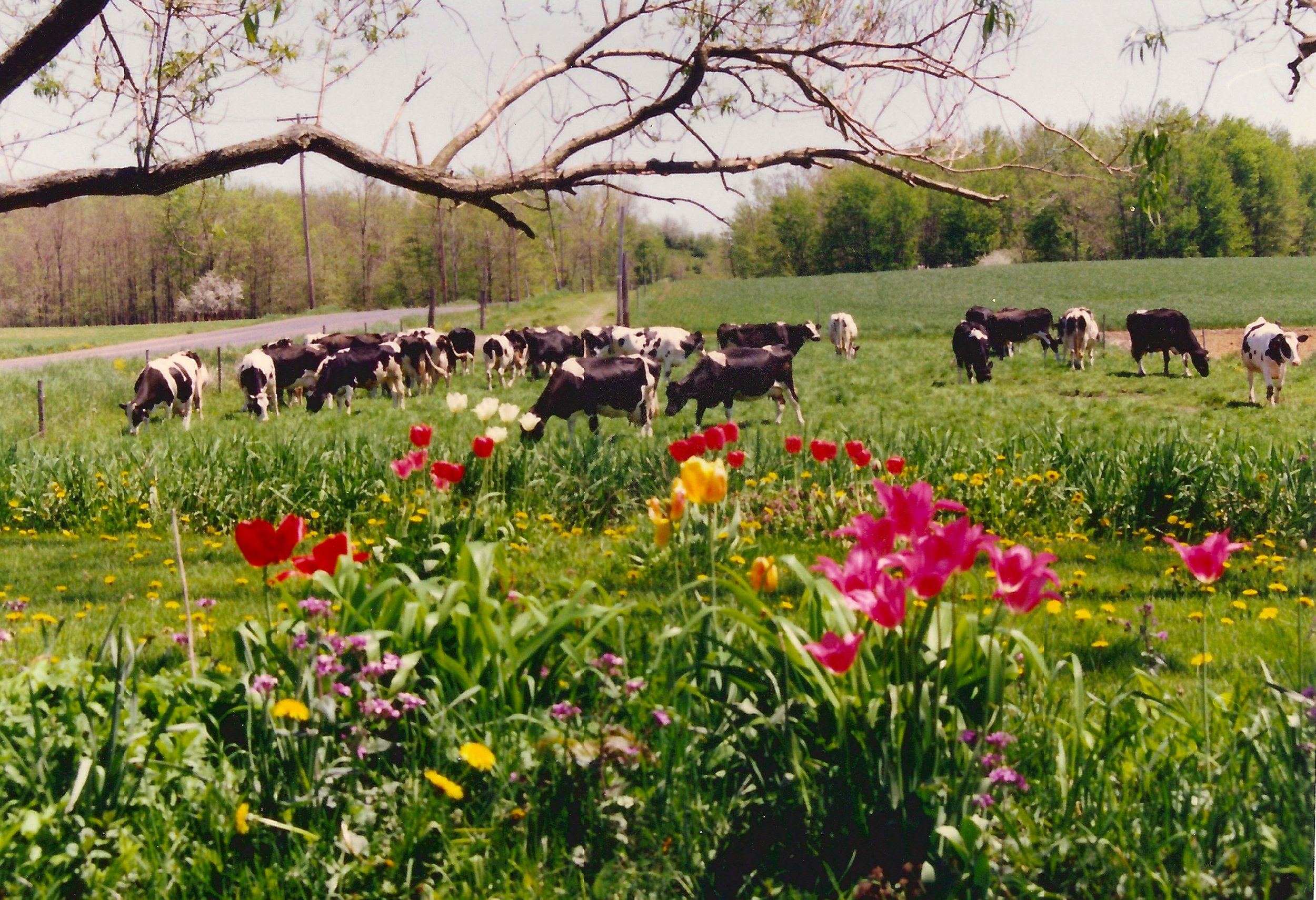 DeMinck spring -- tulips and cows.jpeg